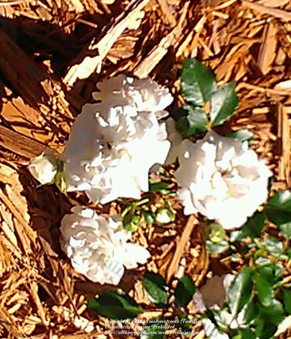 Photo of Rose (Rosa 'Icy Drift') uploaded by mollymistsmith