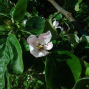 Location: HomeDate: 2012-04-24 Smyrna Quince, self-fertile, turkish