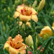 Date: 2003-06-19Photo Courtesy of Nova Scotia Daylilies Used with Permi