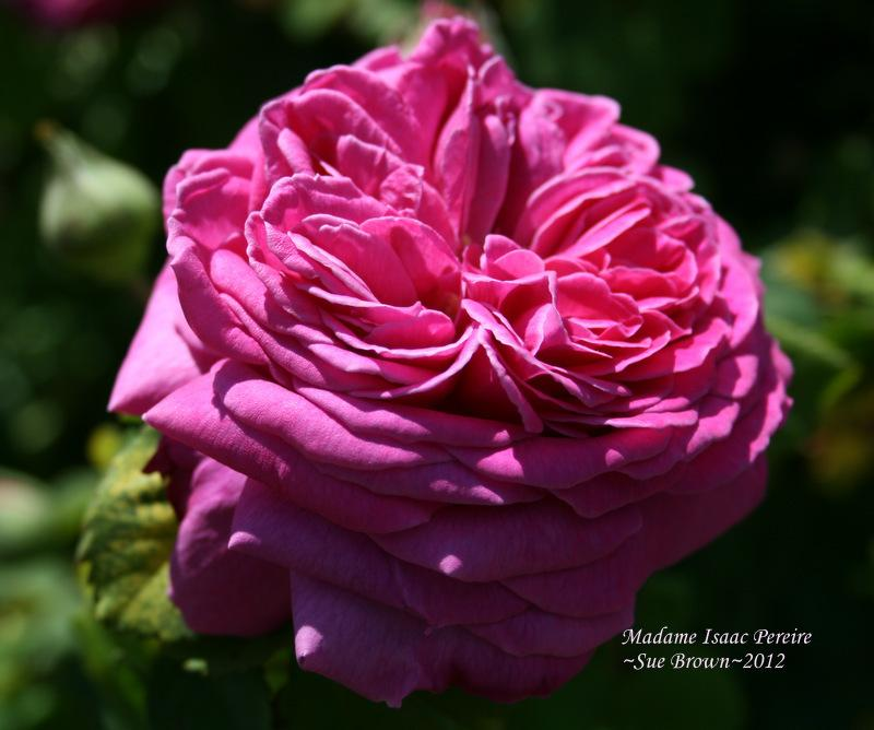 Photo of Rose (Rosa 'Madame Isaac Pereire') uploaded by Calif_Sue