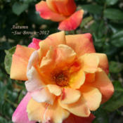 Location: San Jose Heritage Rose GardenDate: 2012-04-25