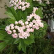 Location: Denver Metro, CODate: 2012-04-26Blooms start off pale pink, fade to white, then fade again back t
