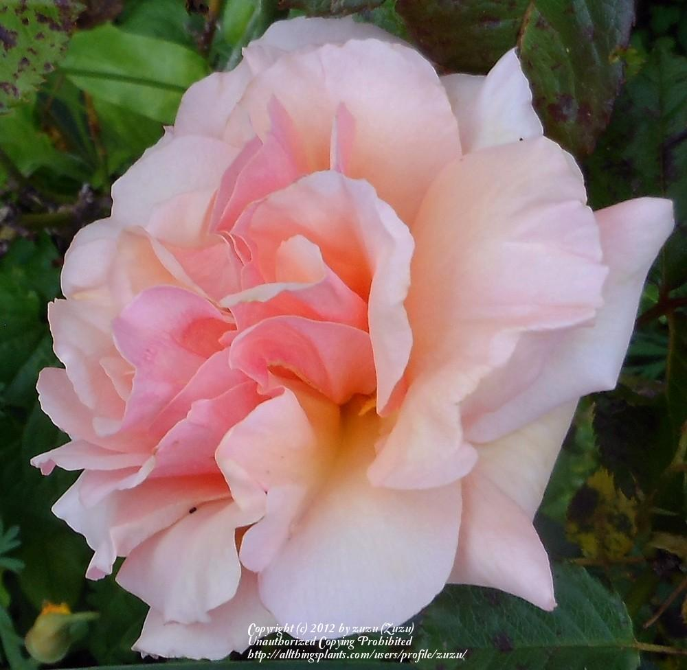 Photo of Rose (Rosa 'Fragrant Apricot') uploaded by zuzu
