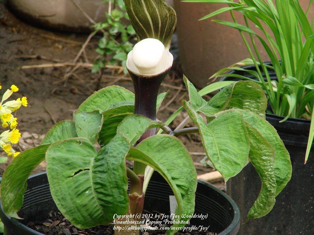 Photo of Japanese Cobra Lily (Arisaema sikokianum) uploaded by Joy