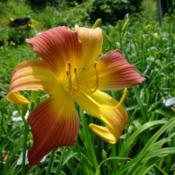 Date: 2011-07-13Photo Courtesy of Nova Scotia Daylilies Used with Permission