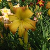 Date: 2009-07-31Photo Courtesy of Nova Scotia Daylilies Used with Permi
