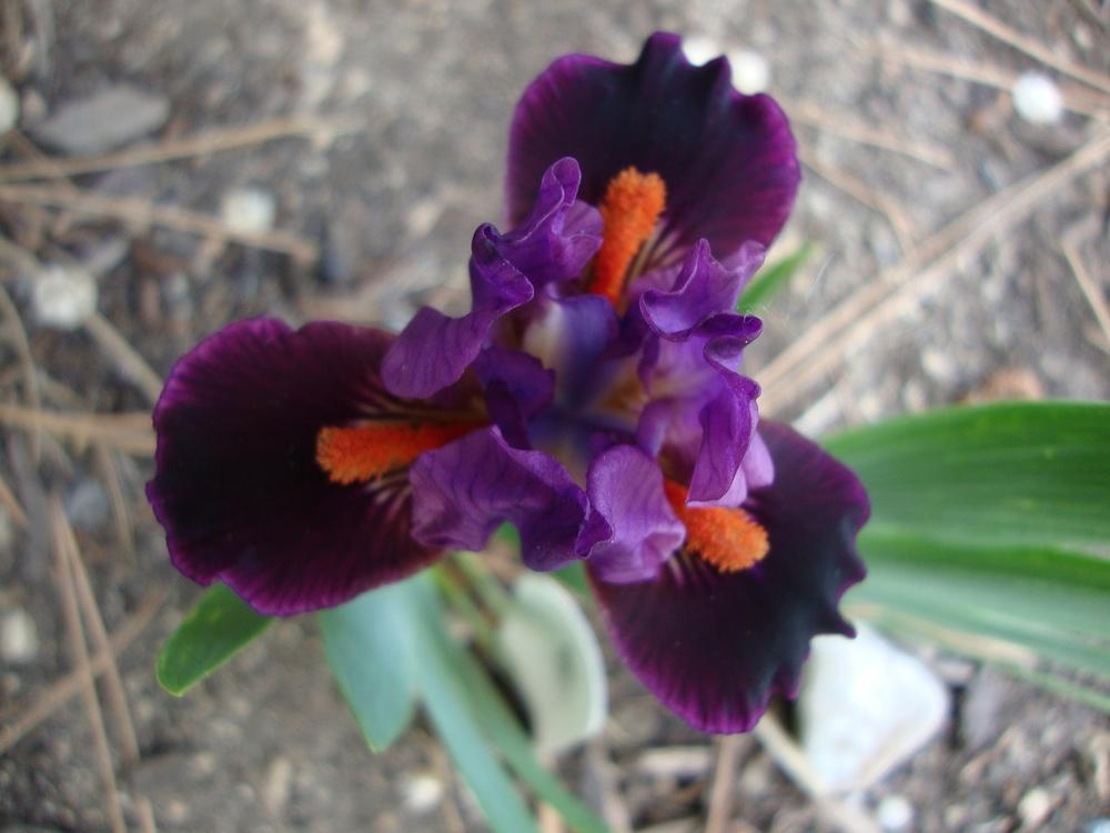 Photo of Miniature Dwarf Bearded Iris (Iris 'Keeno') uploaded by Paul2032