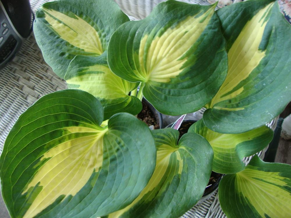 Photo Of The Entire Plant Of Hosta Dream Queen Posted By Paul2032