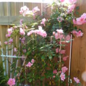 Location: zone 7b, NC, my gardenDate: 2012-04-29
