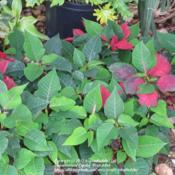 Location: Daytona Beach, FloridaDate: 2012-04-30 Planted in the garden after the holidays.