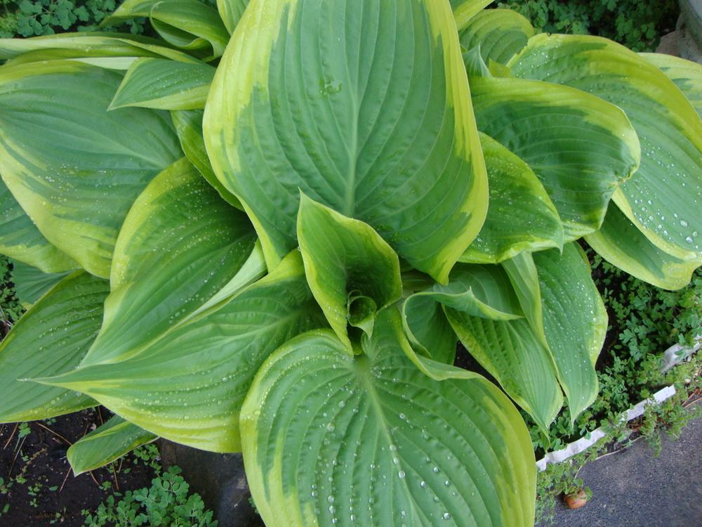 Photo of Hosta 'Victory' uploaded by Paul2032
