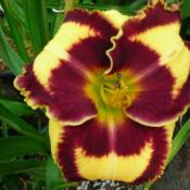 Date: 2008-06-25Photo Courtesy of Wonderland of Daylilies Used with Permission