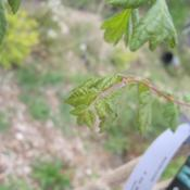 Location: Denver Metro, CODate: 2012-05-02New leaves.  This is 1st year tree for me (planted autu