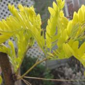 Location: Denver Metro, CODate: 2012-05-02Stays this yellow all year.  These are new leaves.