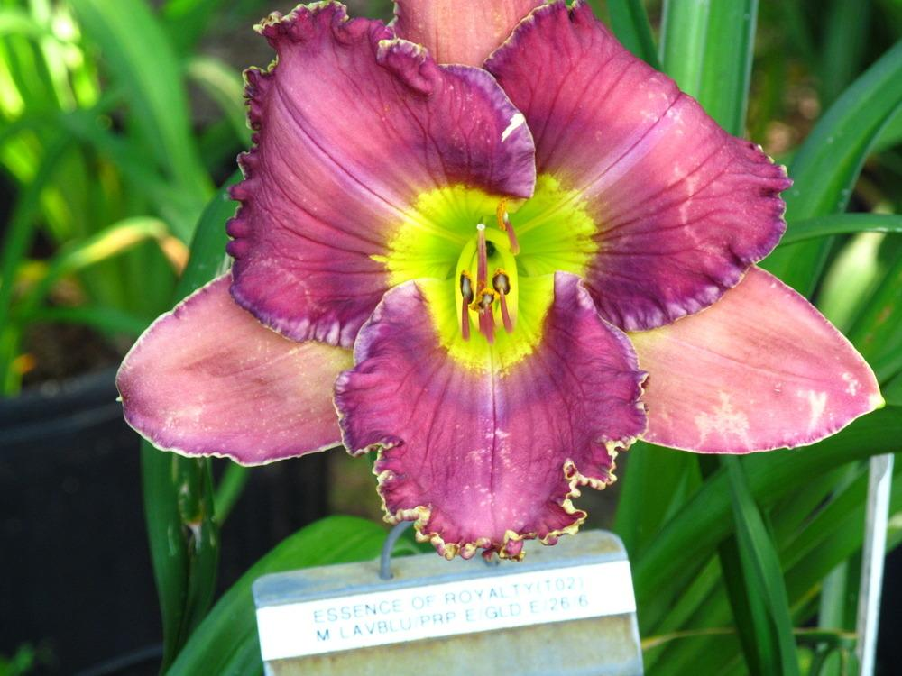 Photo of Daylily (Hemerocallis 'Essence of Royalty') uploaded by monalisa18