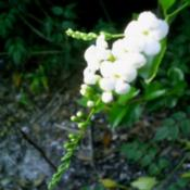 Location: Jacksonville, Florida Zone 8b/9aDate: 2006-12-31Tiny white pendant flowers -- look like a bridal bouquet for Tita