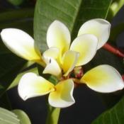Location: Southwest FloridaDate: summer 2006This is 'Bali Whirl' which has a double set of petals.