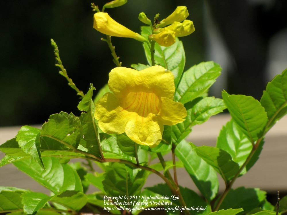 Photo of Esperanza (Tecoma stans) uploaded by plantladylin