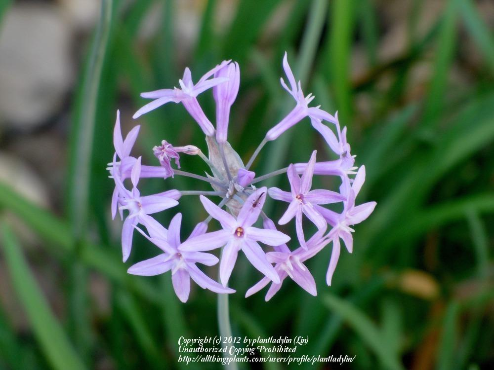 Photo of Society Garlic (Tulbaghia violacea) uploaded by plantladylin