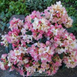 Top 5 Reasons You Should Grow Azaleas