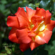 Location: San Jose Heritage Rose GardenDate: 2012-05-07