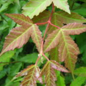 Location: Indiana  Zone 5Date: 2012-05-07some early spring leaf color