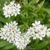 Location: In my Northern California gardenDate: 2012-04-23Chives peeking up through the lily foliage
