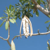 Location: Southwest FloridaDate: May 2012a closed seedpod on the left and one that has just opened in the
