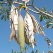 Location: Southwest FloridaDate: May 2012These seeds will now disperse at the slightest breeze.