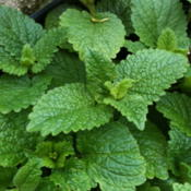 Location: Lake Bluff, IlDate: 2012-05-07 Lemon Balm