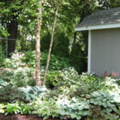 Location: Indiana  Zone 5Date: 2012-05-08Hosta collection in garden setting