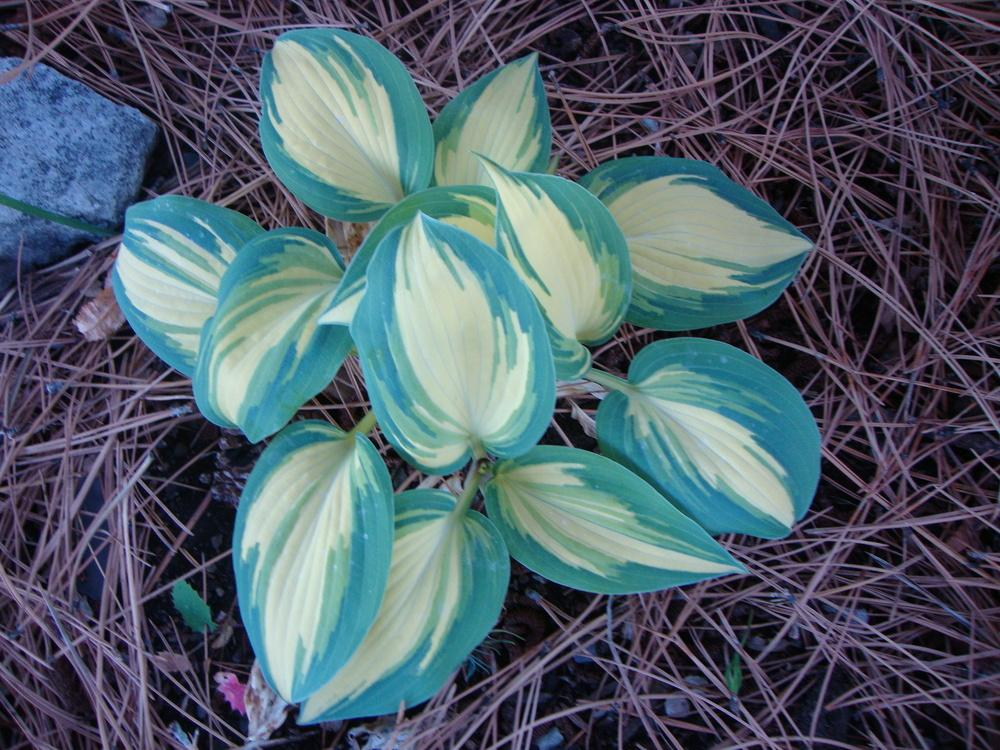 Photo of Hosta 'Remember Me' uploaded by Paul2032