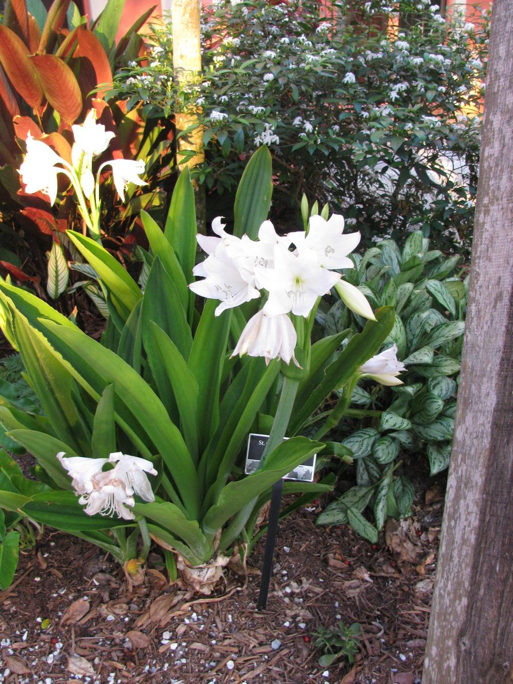 Photo of St.Christopher Lily (Crinum jagus) uploaded by Dutchlady1