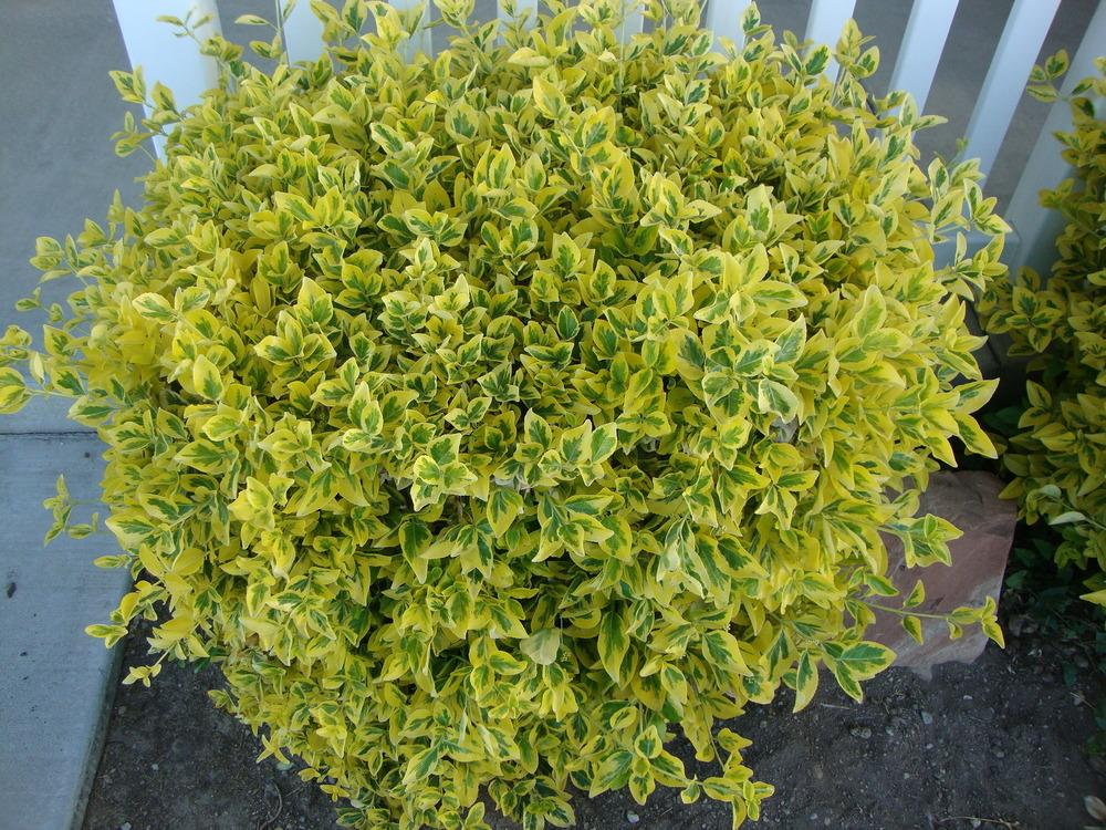 photo of the entire plant of golden euonymus euonymus japonicus 39 aureo marginata 39 posted by. Black Bedroom Furniture Sets. Home Design Ideas