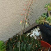 Location: At our garden - Central Valley area, CADate: 2012-05-11Aloe aristata x gasteria bloom spike opens