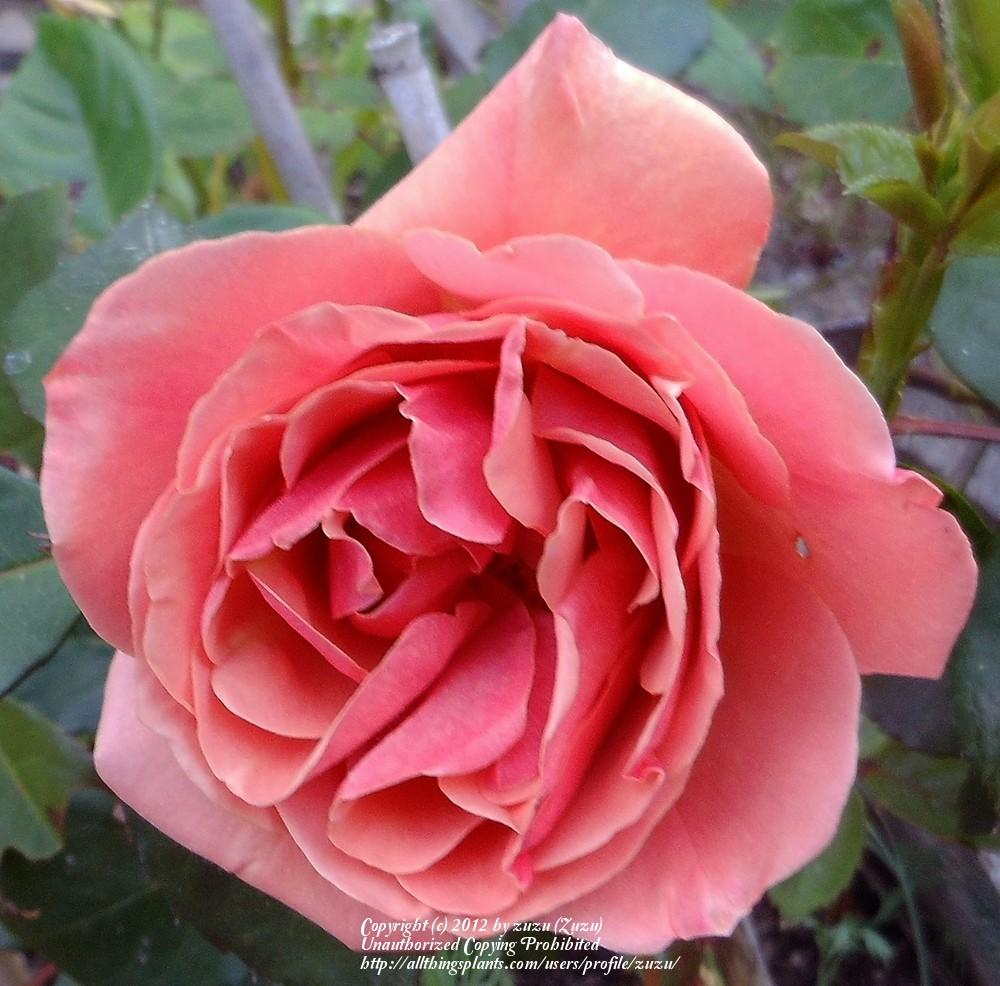 Photo of Rose (Rosa 'Vesper') uploaded by zuzu