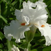 Location: Western KentuckyDate: April 2012This is a beautiful white -- purity of color, substanti