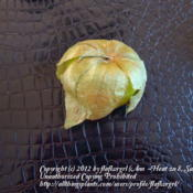 Location: zone 8 Lake City, Fl.Date: 2012-05-06fruit wearing the husk