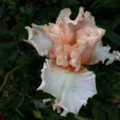 Location: Mackinaw, ILDate: 2012-05-07First bloom on this iris