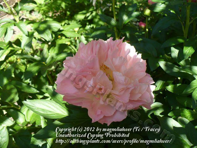 Photo Of The Bloom Of Peony Paeonia Pink Hawaiian Coral Posted