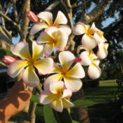 Location: Southwest FloridaDate: April 2012An extremely fragrant, large bloomed variety from Southwest Flori