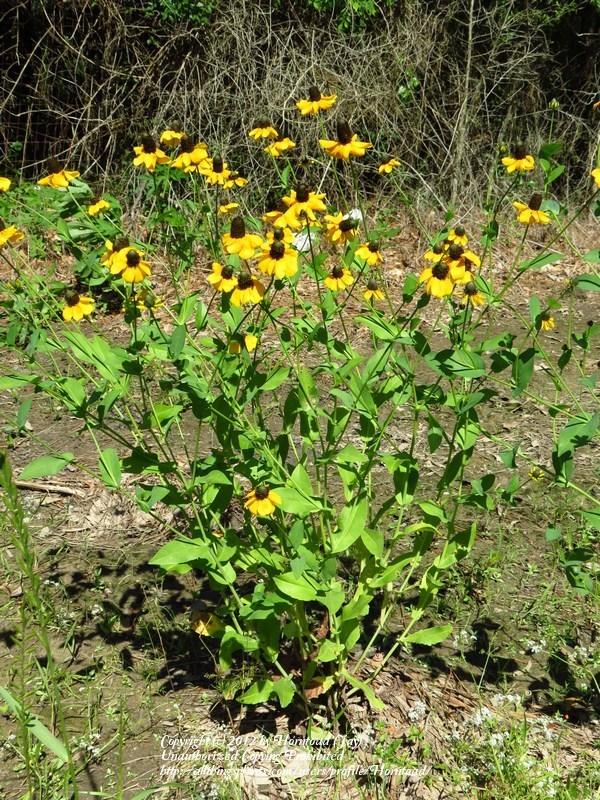 Photo of Clasping Leaf Coneflower (Rudbeckia amplexicaulis) uploaded by Horntoad