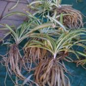 Location: At our garden - Central Valley area, CADate: 2012-05-10Very thick roots of root bound spider plants before I g