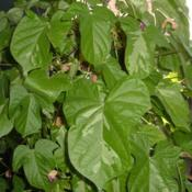 Location: NE Washington, Zone 5bDate: 2009-09-16Yoi no Tsuki foliage