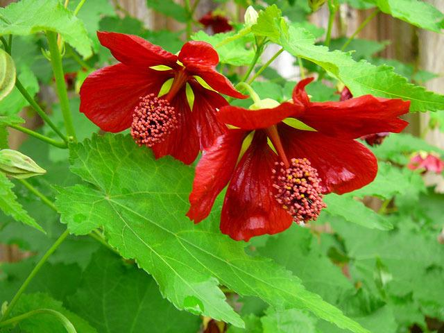 Photo Of The Bloom Of Flowering Maple Abutilon Voodoo Posted By