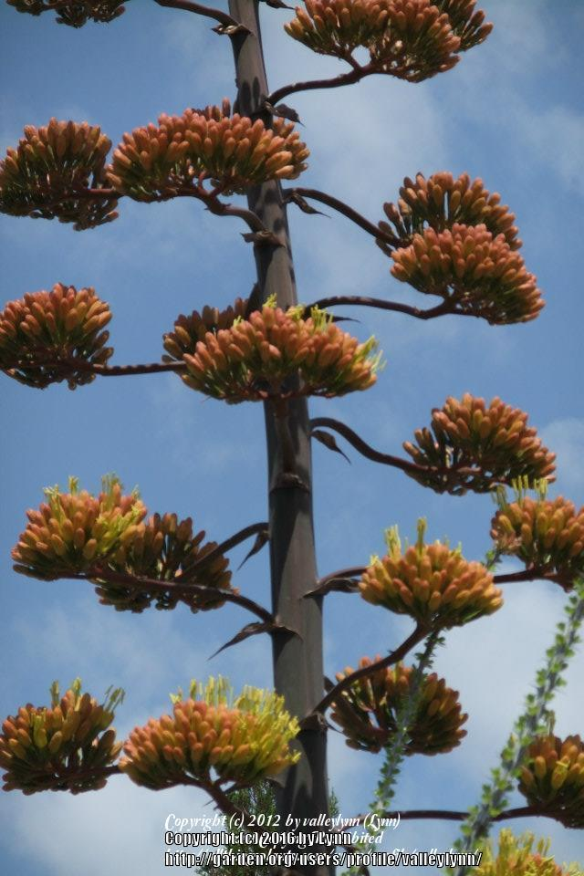 Photo of Parry's Agave (Agave parryi) uploaded by valleylynn