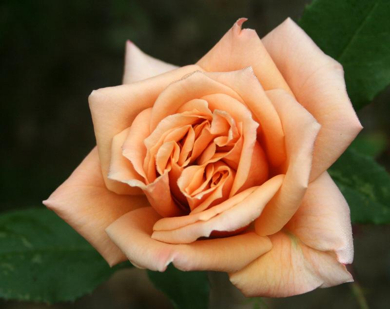 Photo of Rose (Rosa 'Vesper') uploaded by Calif_Sue