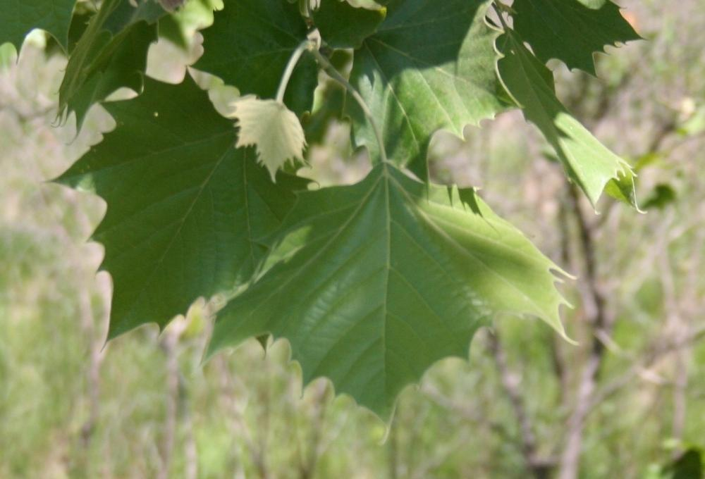 Photo of American Sycamore (Platanus occidentalis) uploaded by KentPfeiffer