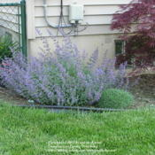 Location: My Cincinnati Ohio gardenDate: May 17, 2012Nepeta Walker's Low