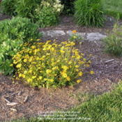 Location: My Cincinnati Ohio gardenDate: May 17, 2012Coreopsis Nana